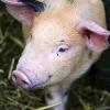 Африканська чума свиней: опис, симптоми, епідемічна небезпека