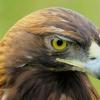 Беркут - птах хижа: характеристика, місця проживання