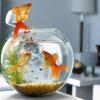 Чим годувати рибок?