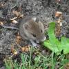 Чим харчуються миші?