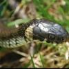 Чорна змія - хто вона? Як розрізнити темних змій, які водяться на території росії