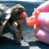 Що їдять домашні черепахи?