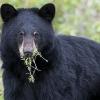 Що їдять ведмеді?