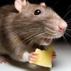 Що їдять миші?