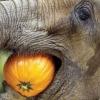 Що їдять слони?