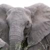 Що може зупинити слона?
