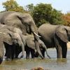 Чи їдять слонів?