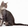 Єгипетські кішки - одна з найдавніших котячих порід