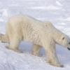 Де живуть білі ведмеді?