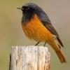 Горихвостка звичайна - невелика, але яскрава птах