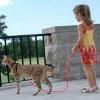 Екзотична і модна порода кішок ашера