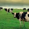 До чого сниться стадо корів?