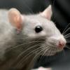 До чого сниться вбити миша?