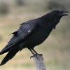 До чого сниться ворона?