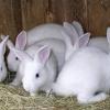 До чого сняться білі кролики?