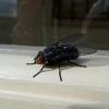 Як боротися з мухами?