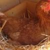 Як кури несуть яйця?