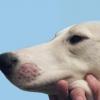 Як лікувати лишай у собаки?