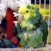 Як лікувати папуги?
