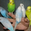 Як можна назвати папугу?