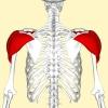 Як накачати плечі? Як накачати м`язи плеча - вправи