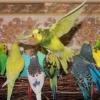 Як навчити розмовляти хвилястого папугу?