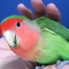 Як назвати папугу?