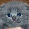 Як назвати висловухого кошеня?