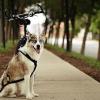 Як одягнути шлею на собаку?