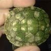 Як визначити стать черепахи