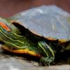 Як визначити стать червоновухих черепах?