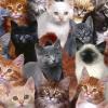Як визначити породу кішки?