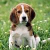 Як визначити породу собаки?