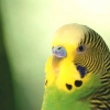 Як визначити вік папугу?