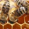 Як бджоли роблять мед? Навіщо бджолам мед?