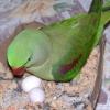 Як папуги висиджують яйця?