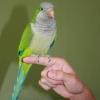 Як приручити папугу?