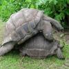 Як розмножуються черепахи?