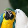 Як розмножуються папуги?