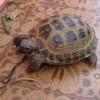 Як доглядати за сухопутними черепахами?