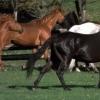 Якими бувають масті коней