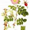 Корінь шипшини: застосування. Лікувальні властивості кореня шипшини