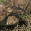Підступна мисливиця гюрза - змія отруйна: спосіб життя, місця проживання