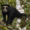 Лисий ведмідь: генетична аномалія або хвороба?
