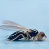 Морквяна муха. Методи боротьби з комахами