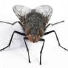 Настирливі «гості», або як позбутися від мух?