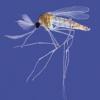 Чи небезпечний для людини самець комара