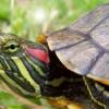 Чому черепаха червоновуха?