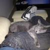 Чому кішки сплять в ногах?