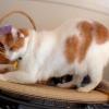 Чому кішки топчуться?